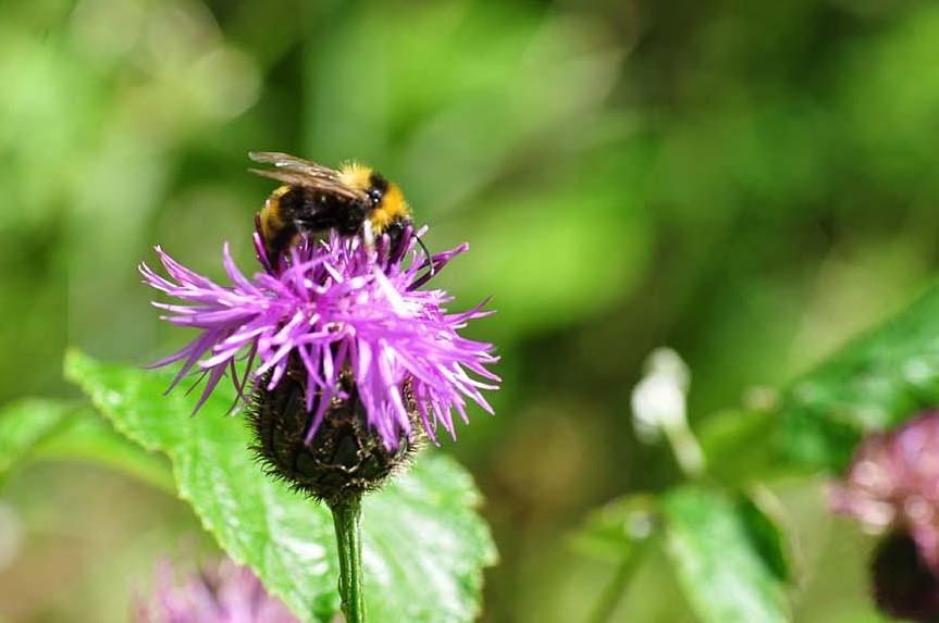 Humla letar nektar på en tistel
