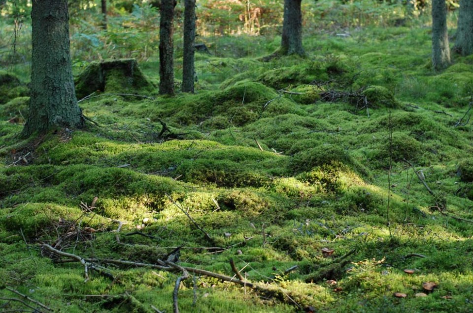 Mossbelagd skog